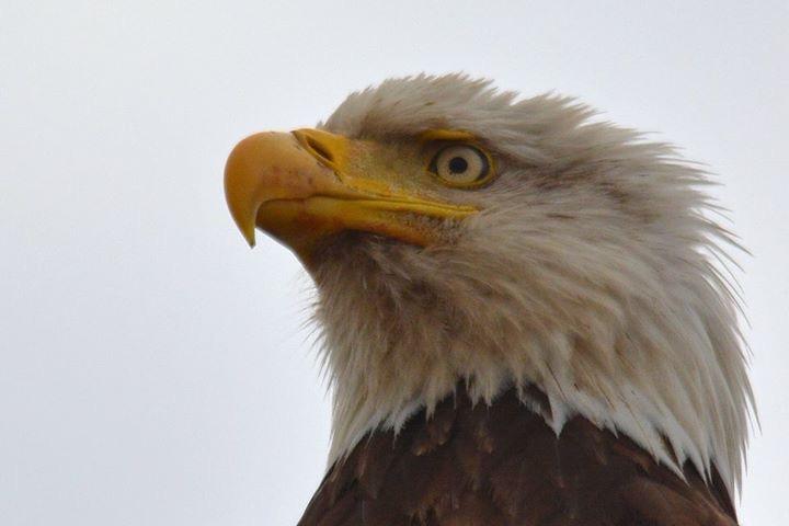 eagle-headshot